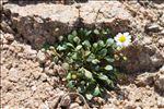 Photo 2/3 Bellium bellidioides L.