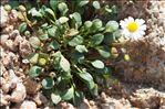 Photo 1/3 Bellium bellidioides L.