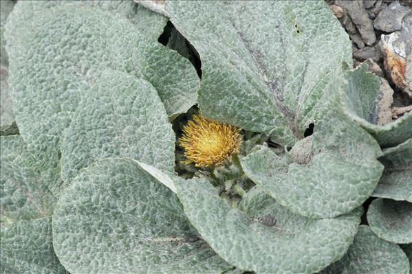 Berardia lanuginosa (Lam.) Fiori