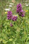Photo 1/6 Betonica hirsuta L.