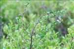 Photo 6/7 Betula nana L.