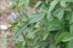 Photo 7/11 Bituminaria bituminosa (L.) C.H.Stirt.