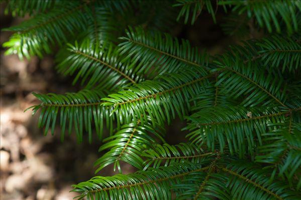 Abies grandis (Douglas ex D.Don) Lindl.