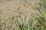 Blysmus compressus (L.) Panz. ex Link