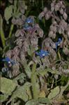Photo 1/3 Borago officinalis L.