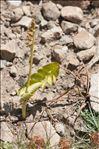 Photo 7/7 Botrychium lunaria (L.) Sw.