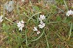 Brimeura fastigiata (Viv.) Chouard