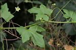 Bryonia dioica Jacq.