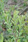 Photo 1/5 Bupleurum fruticosum L.