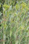 Photo 4/5 Bupleurum fruticosum L.