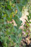 Bupleurum rotundifolium L.