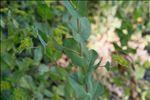 Photo 2/2 Bupleurum rotundifolium L.