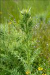 Carduus nutans subsp. platylepis (Rchb. & Saut.) Nyman