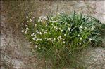 Cakile maritima Scop. subsp. maritima