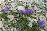 Campanula alpestris All.