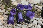 Photo 1/2 Campanula alpestris All.