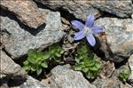 Campanula cenisia L.