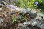 Photo 3/4 Campanula cochleariifolia Lam.