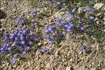Photo 1/4 Campanula cochleariifolia Lam.