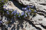 Photo 2/4 Campanula cochleariifolia Lam.