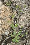 Campanula erinus L.