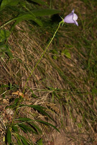 Campanula persicifolia var. hispida (Lej.) Lej.