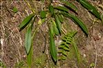 Photo 2/3 Campanula persicifolia L.