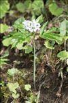 Cardamine heptaphylla (Vill.) O.E.Schulz