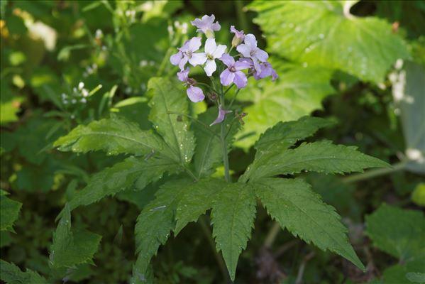 Cardamine pentaphyllos (L.) Crantz