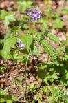 Photo 4/4 Cardamine pentaphyllos (L.) Crantz