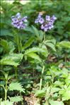 Photo 3/4 Cardamine pentaphyllos (L.) Crantz