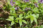 Photo 1/4 Cardamine pentaphyllos (L.) Crantz