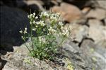 Cardamine resedifolia L.