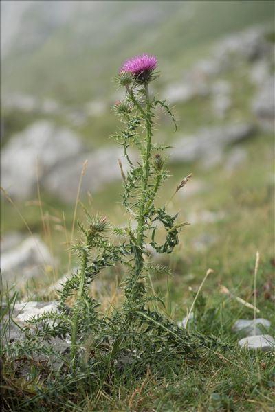 Carduus defloratus subsp. carlinifolius (Lam.) Ces.