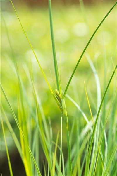 Carex bohemica Schreb.