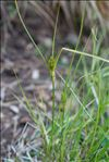 Photo 1/2 Carex bohemica Schreb.