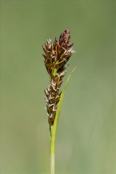 Carex caryophyllea Latourr.