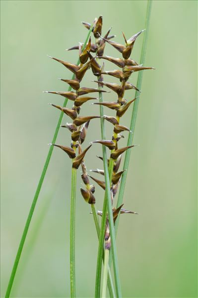 Carex davalliana Sm.