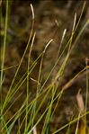 Photo 1/1 Carex dioica L.