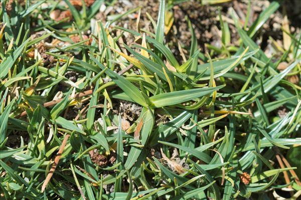 Carex firma Mygind ex Host