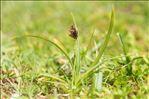 Carex foetida All.