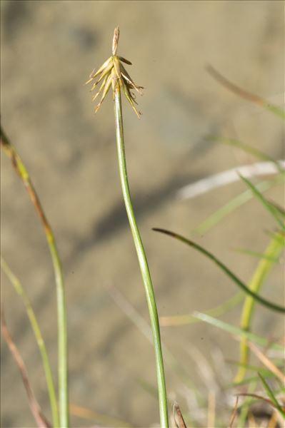 Carex microglochin Wahlenb.