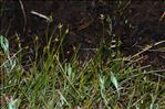 Carex pauciflora Lightf.