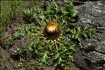 Carlina acanthifolia All.