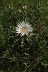 Photo 1/2 Carlina acaulis L.