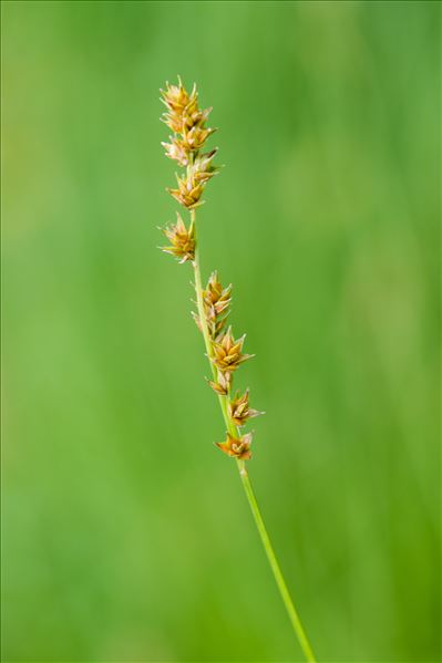 Carex divulsa Stokes
