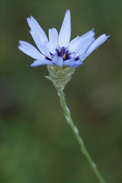 Catananche caerulea L.