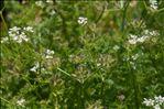 Caucalis platycarpos var. muricata (Godr.) V.N.Tikhom.