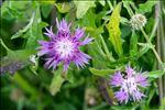 Centaurea aspera L.