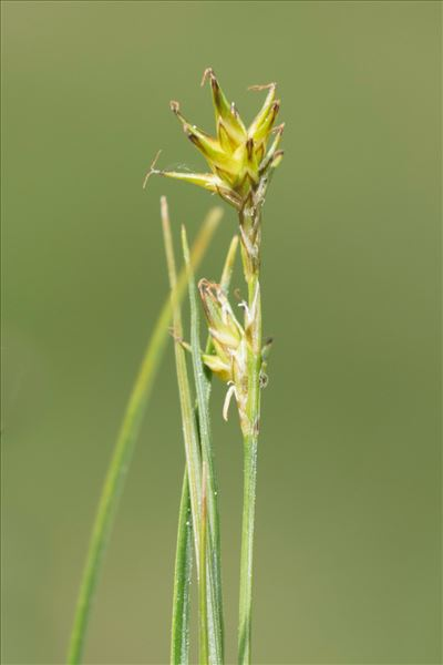 Carex echinata Murray